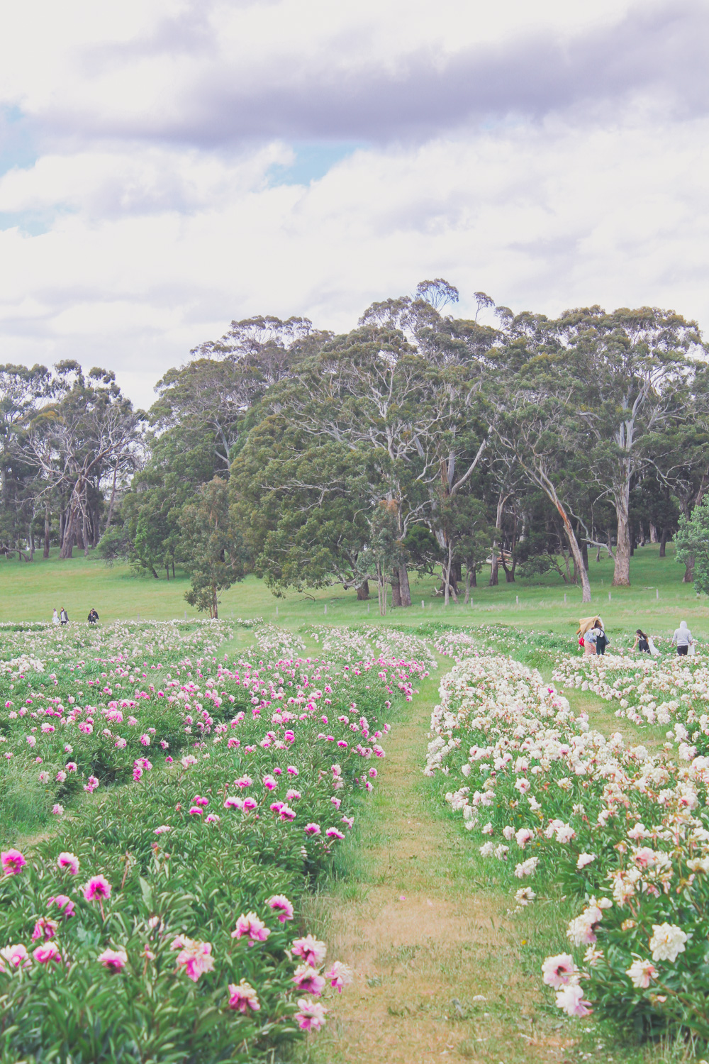 Spring Hill Peony Farm in Full Bloom during the November season
