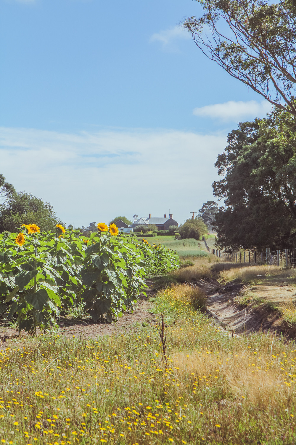 Sunflower Farm at dunnstown in Victoria