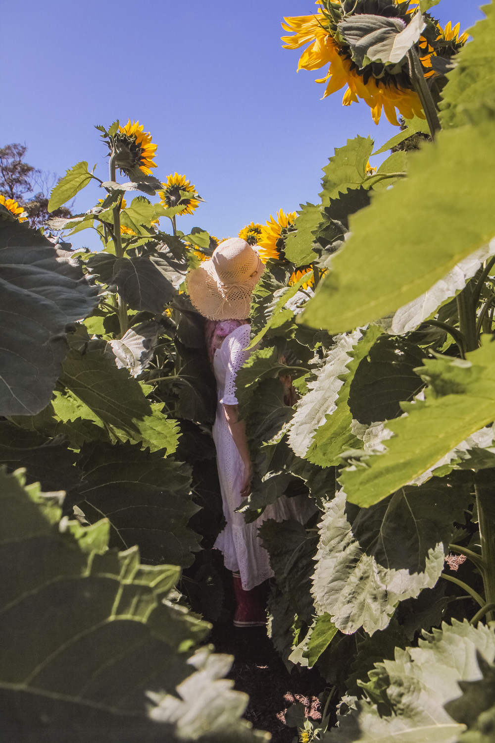Goldfields girl disappearing into the sunflower field