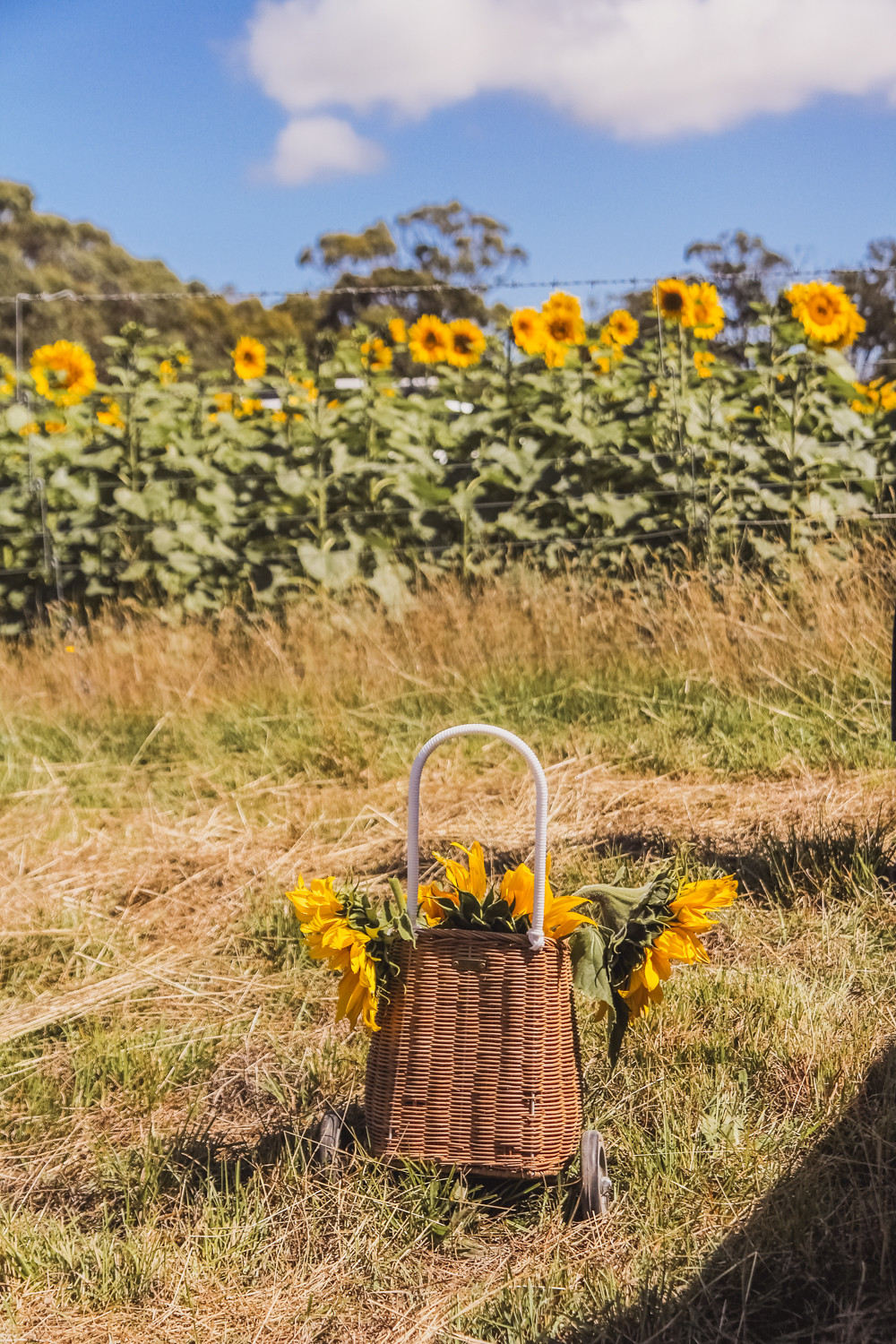 Olli ella luggy filled with sunflowers at pick your own sunflower farm near Ballarat