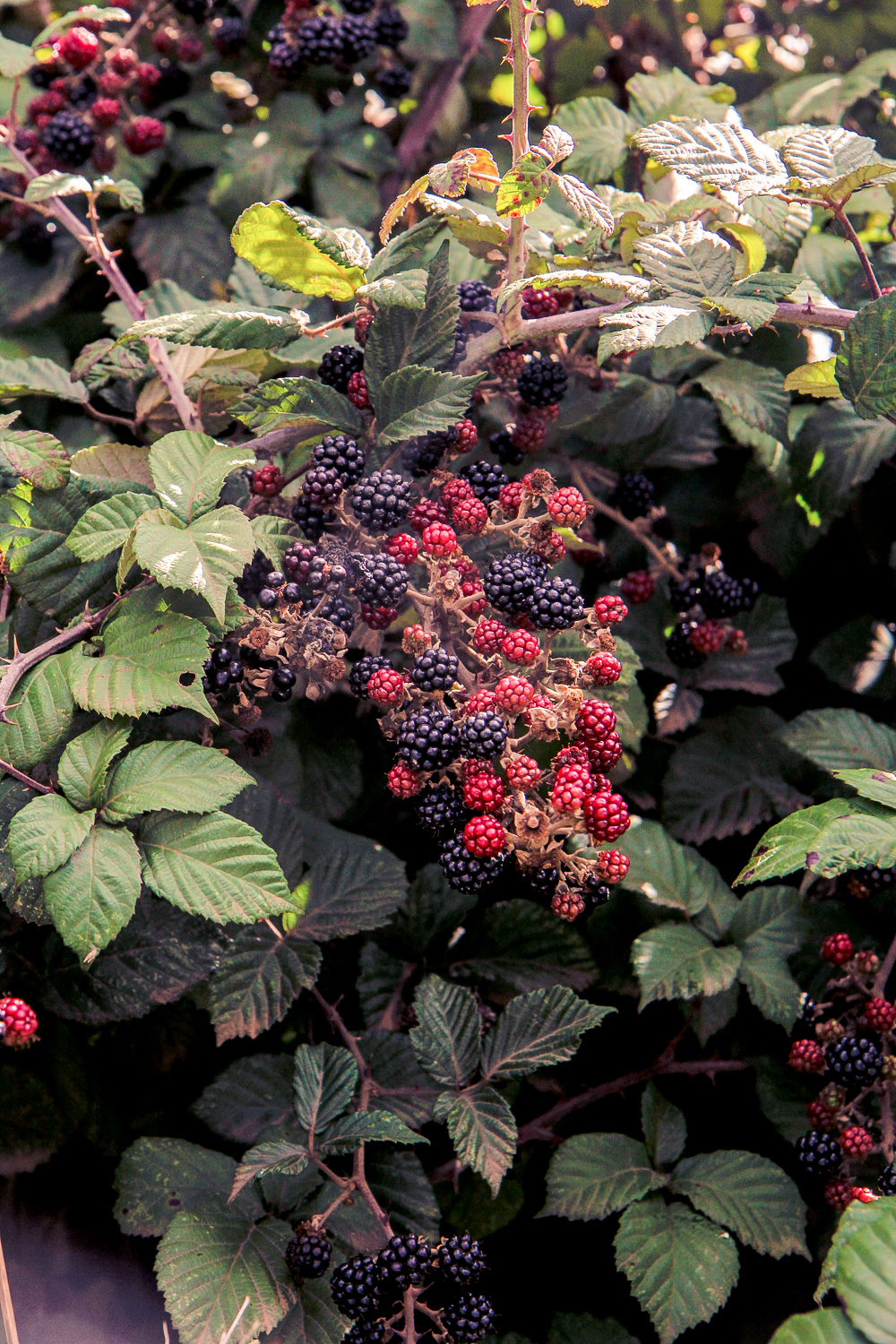 Blackberrys in a bush